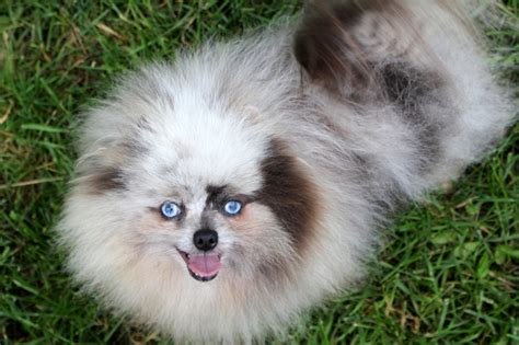 blue pomeranian puppies blue pomeranian puppies for sale and from breeders