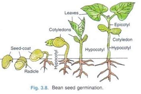 bean seed germination | bean germination | pinterest
