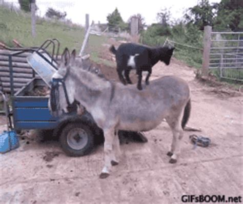 goat gif find & share on giphy