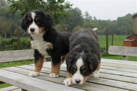where do you buy puppies bernese mountain overview breeds picture