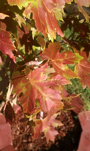 are my autumn blaze maple trees dying gardening landscaping stack exchange