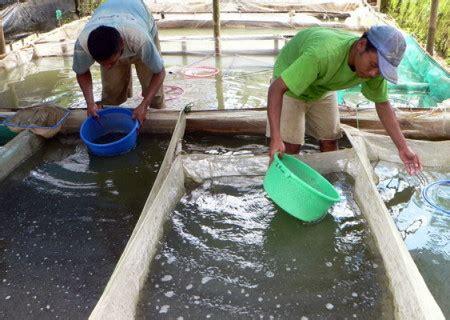 Ciri Fisik Bibit Lele Sangkuriang 7 ciri bibit ikan lele berkualitas baik dan unggul