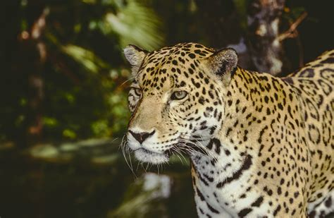 jaguar belize protecting jaguars of belize southton connects alumni