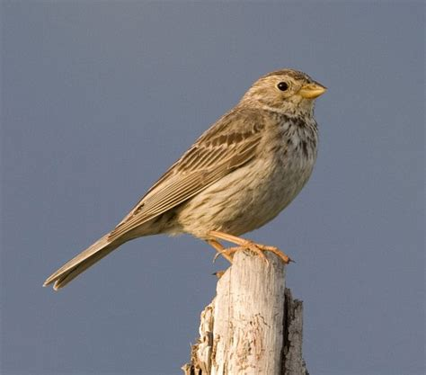oriental bird club image database corn bunting