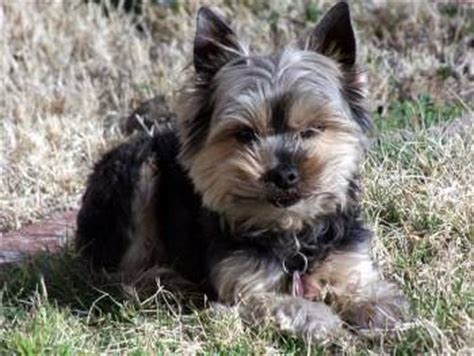 how many pups do yorkies usually yorkieinfocenter terrier digging behavior