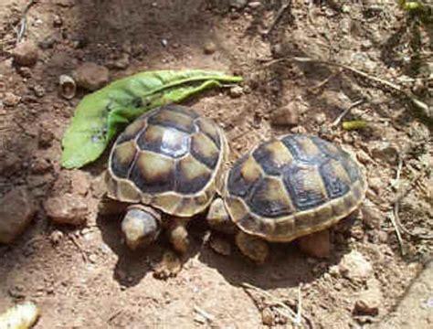 alimentazione tartarughe di terra piccole tartarughe