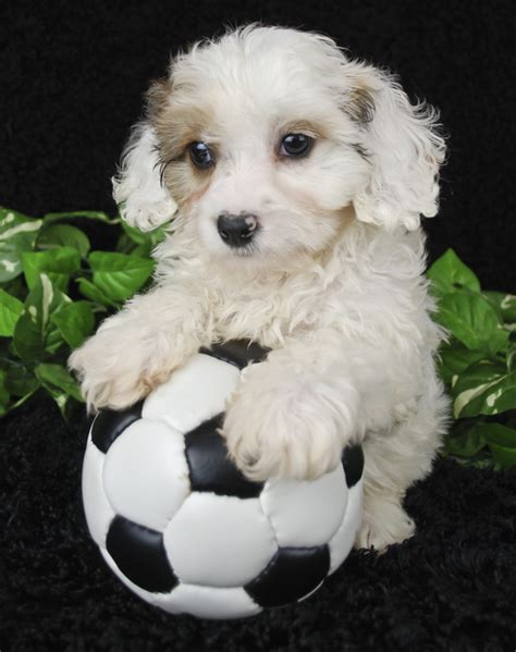 what to buy for a puppy pet 187 why to buy a cavachon puppy