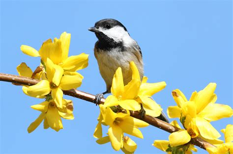 chickadee with yellow flowers duncraft