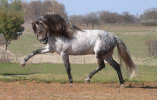 andalusian colors war horses of the empire rome across europe