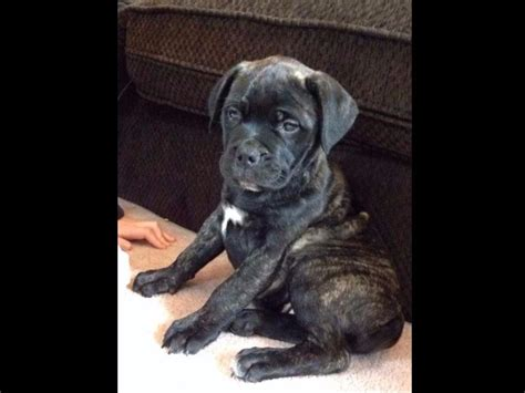 bullmastiff puppies for sale in california bullmastiff puppies for sale in california akc registered vet checked breeds picture