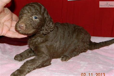 chocolate doodle indiana meet a goldendoodle puppy for sale for 750