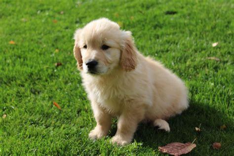 beautiful golden retriever puppies beautiful golden retriever puppies whitchurch shropshire pets4homes