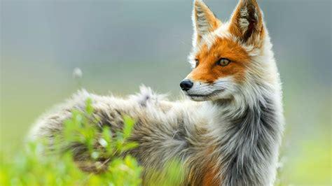 fox wallpaper   wallpapersafari