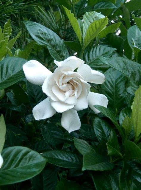 gardenia magnifica   plants garden supplies