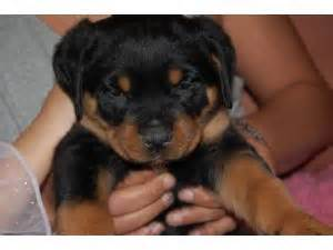 rottweiler for sale ny rottweiler puppies for sale