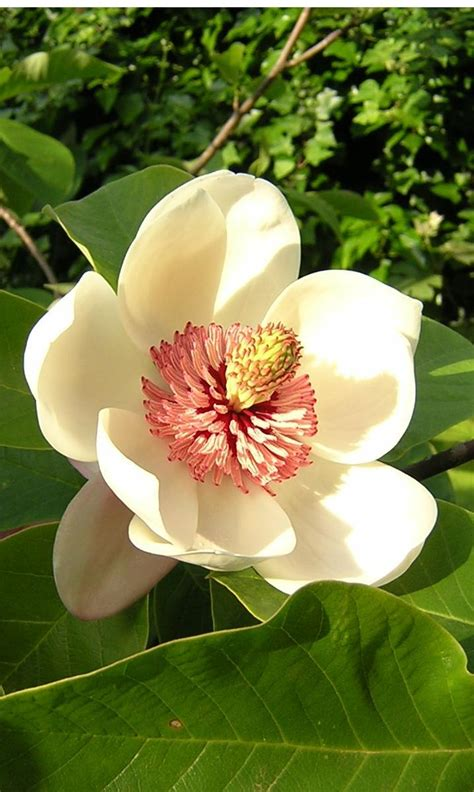 magnolia tips gardening pictures care meaning growing magnolia the flower expert