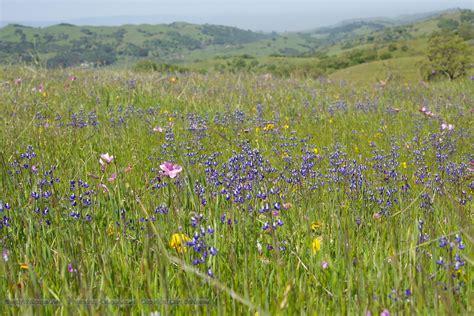 field of purple wildflowers desktop wallpaper