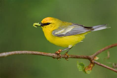 blue winged warbler audubon field guide