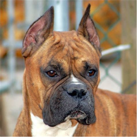 boxer dog haircut lets share pictures of our dogs pets nigeria