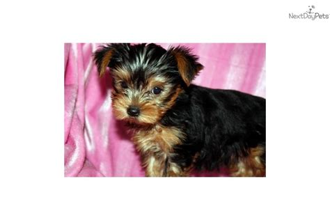 teacup micro yorkie micro teacup yorkie houston tx breeds picture