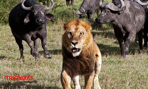 peleas de leones a muerte leon vs bufalo batalla entre bufalos y leones peleas de