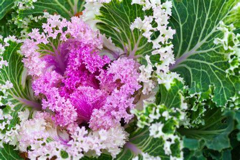 fiori da vaso invernali fiori da vaso invernali cavoli ornamentali with