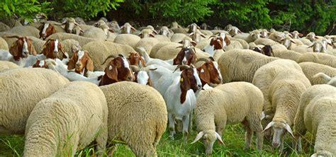 alimentazione pecore mangimi per ovini e caprini meridiana agri zootecnia