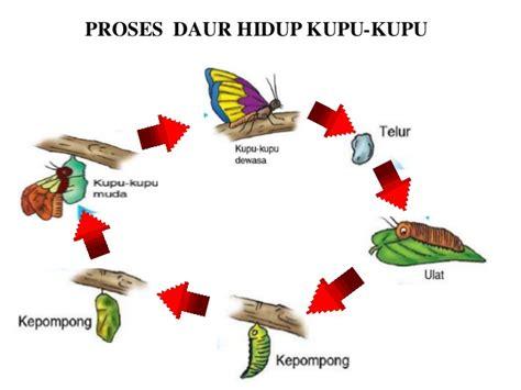 proses daur hidup kupu kupu