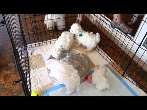 feeding a 6 week puppy hollyhock bichons puppy feeding time 6 weeks
