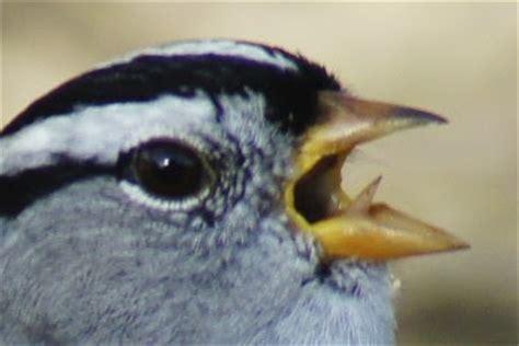 butler s birds bird tongues