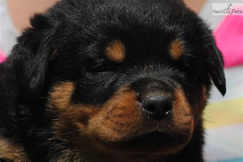 rottweiler for sale michigan are all rottweilers born with tails