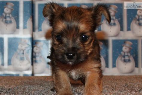 teacup yorkies for sale in springfield mo yorkie puppies springfield mo breeds picture