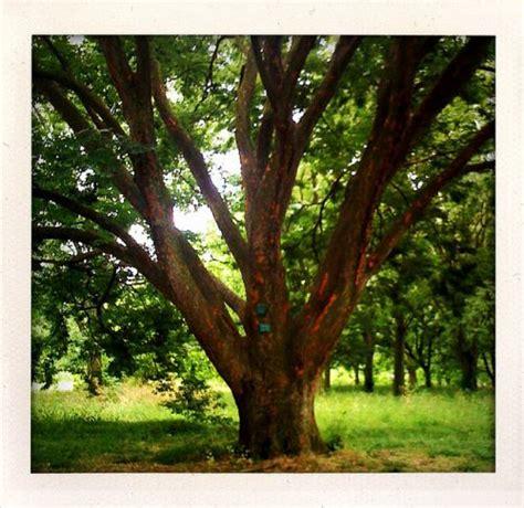 elm tree meaning definition gt caucasian elm zelkova carpinifoli