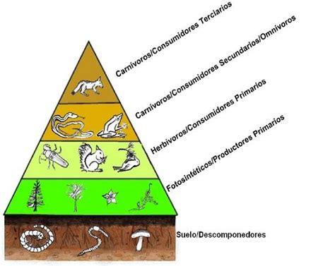 cadenas alimentarias piramides ecologicas what is the ecological pyramid life persona
