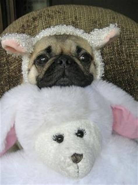 sheep pug 1000 images about pug pins on pug a pug and the pug