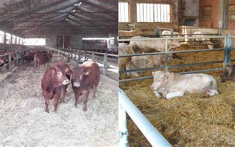 alimentazione bovini da carne la fase di ristallo nell allevamento bovino da carne