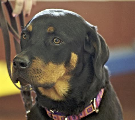 my rottweiler is getting aggressive when dogs fight canines and owners lose ask cleveland