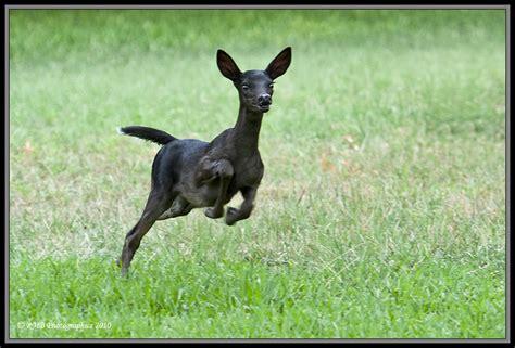 picture of black buck black deer deer photo 17677272 fanpop