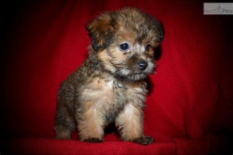 yorkie puppies houston yorkie poo puppies for adoption in houston tx
