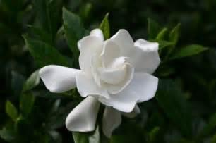 gardenia varieties walter reeves the georgia gardener