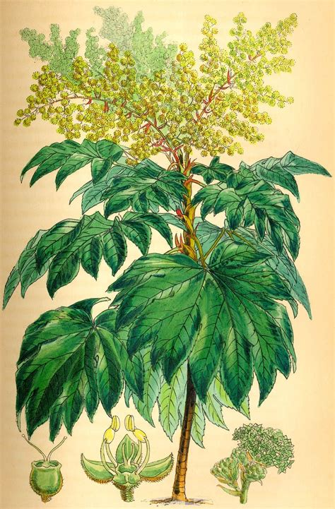 Paper From Plants - tetrapanax