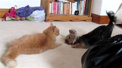 yorkie vs cat yorkie vs cat fight