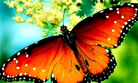 imagenes bellas mariposas motyl