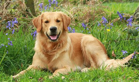 golden retriever behavior characteristics golden retriever