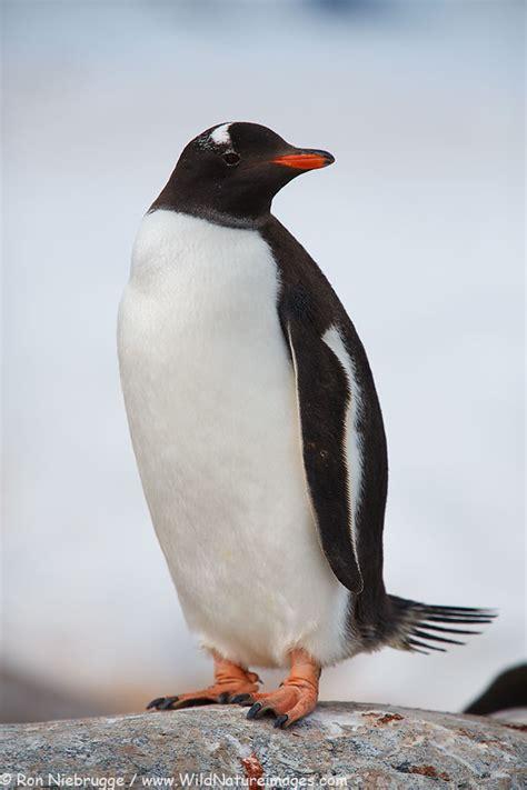Stock Photo of Gentoo Penguin