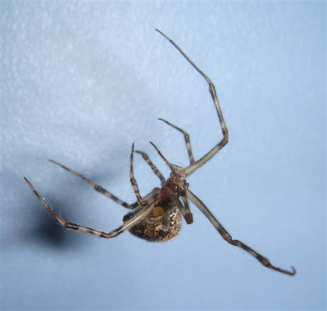 Spiders In House by Common House Spider Spiders In Sutton Massachusetts