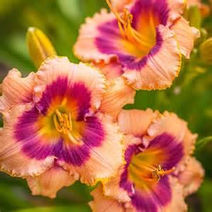 Colorful Foliage Plants - daylily