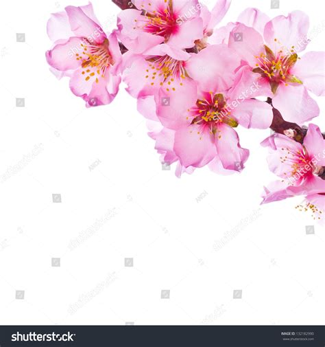 pictures with no background flowering branches pink flowers no stock photo