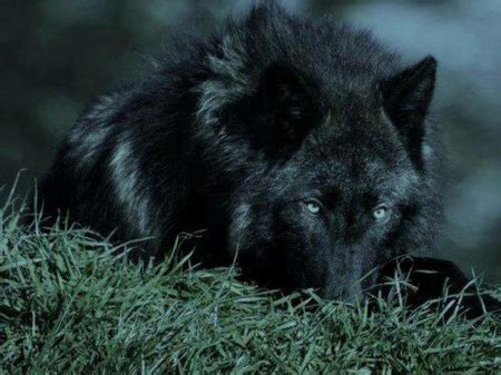 View Topic The Lunar Solar And Stellar Packs Sign Up Black Wolf American