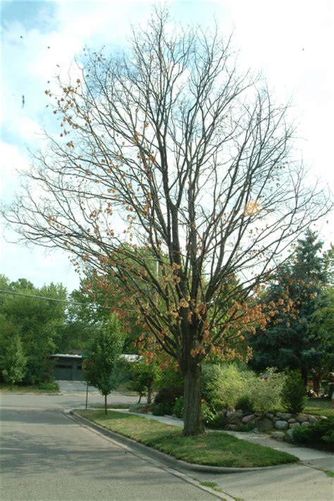 maple tree dying drought turning arbor s trees from green to brown
